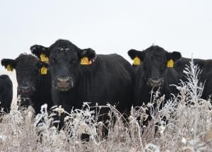 Cows Winter