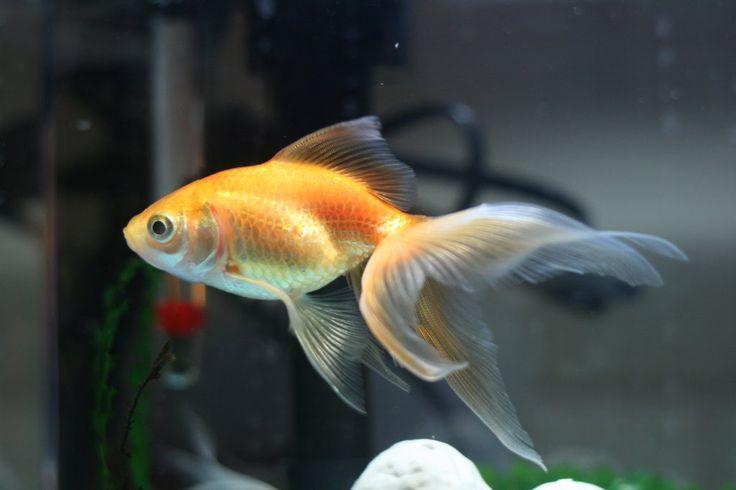 21 best goldfishes images on pinterest black goldfish for Ornamental pond fish types