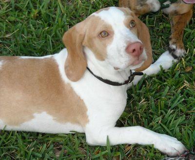 Leo, the purebred lemon Beagle