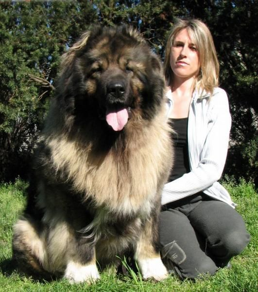 Most Inspiring Caucasian Ovcharka Chubby Adorable Dog - 48920987f6721175656cfa8c7d69279b--caucasian-mountain-dogs-caucasian-shepherd-dog  Snapshot_637380  .jpg
