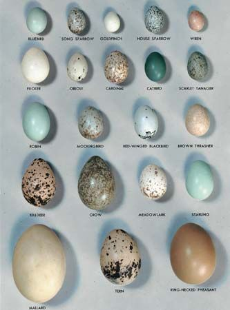 "Photograph:Eggs of some of the common birds effectively illustrate the great variety of egg size, color, and markings. Egg collecting is now forbidden by federal laws that protect songbirds. They should never be taken from the nest. As a rule, eggs that are laid in holes or in hollow trees are white. Those that are laid in exposed places have the ""protective coloration"" of spots and streaks that blend into the background and make them almost invisible to the predators that might eat them."