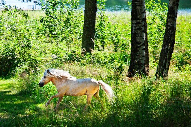 Barnens ö. Två miniatyrhästar spankulerar obehindrat omkring på den bil- och mopedfria ön. Djur och barn ska kunna röra sig säkert