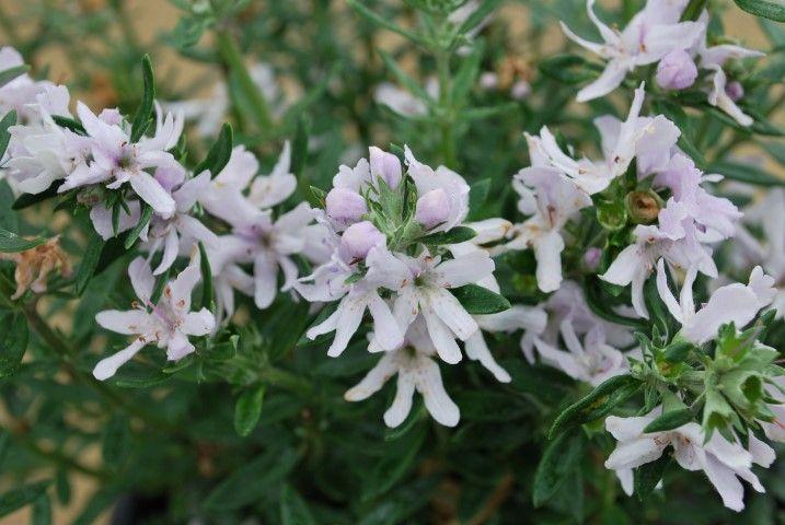 Westringia Double Wonder --- For more Australian native plants visit austraflora.com