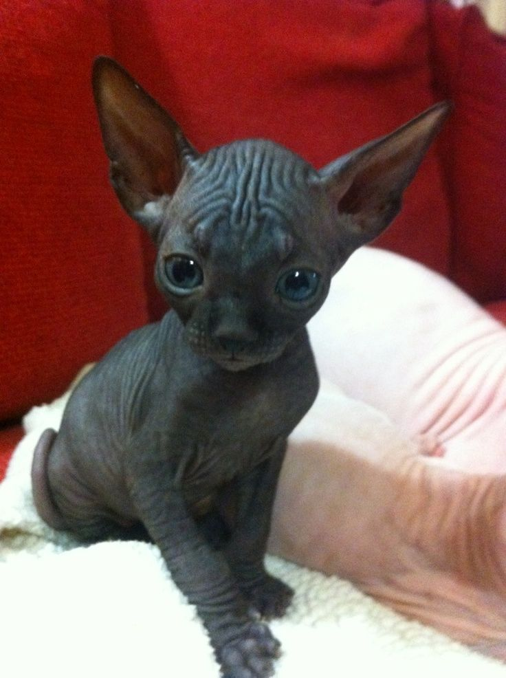 Sphynx baby I hate cats but im s sucker for baby animals with little ... #wolfcat - Catsincare.com!