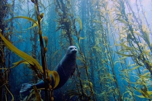 - Haunting Seal in a Kelp Forest