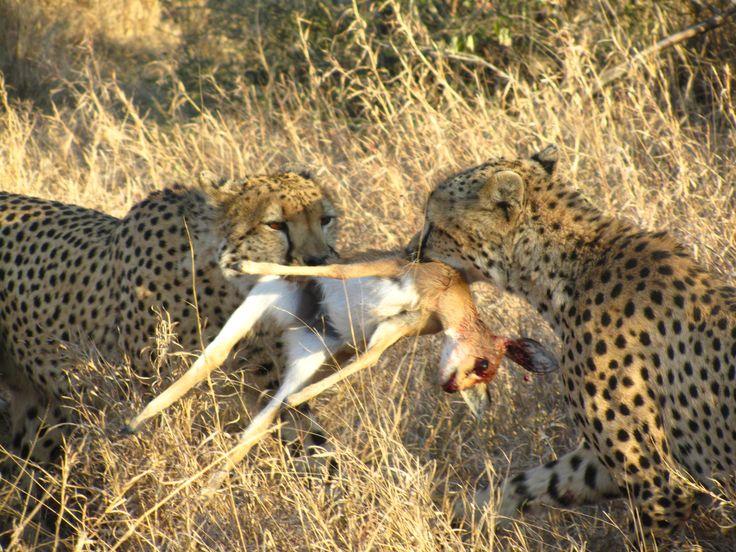 #CheetahKill #Wildlife #Klaserie #Predators #Safari
