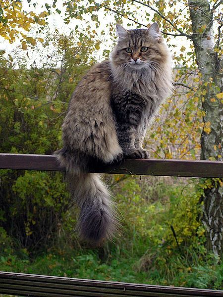 Siberian Cat - As the name suggests, they come from Siberia, one of the hardest climate zones of Russia.