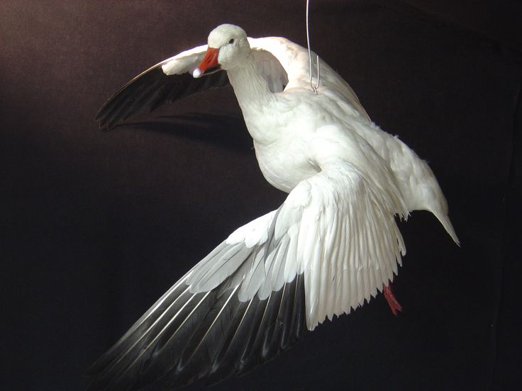 Specklebelly Goose Taxidermy Snow geese