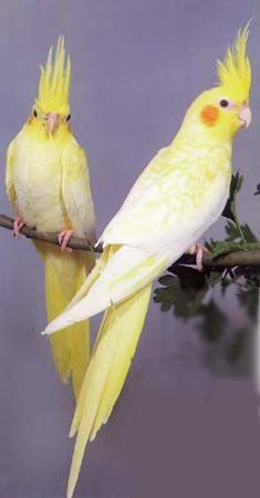 #cockatiels - http://www.busybird.com/cockatielinfo1.html