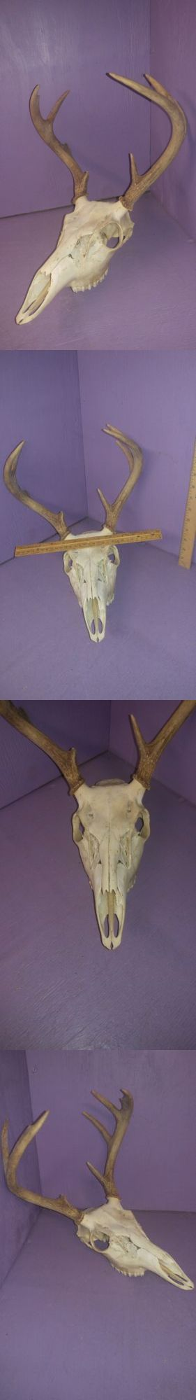 Other Taxidermy 22702: Real Bone Animal Deer Buck Skull Antler Taxidermy Display Mount Wall Man Cave BUY IT NOW ONLY: $69.9