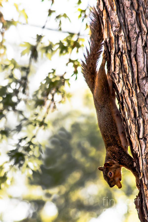 "Squirrel.     (""Peanut Run Photograph by Robert Bales."")                                      Press ""Visit"" to see other images in this collection (from which I pinned all the images I wanted) by the wonderful photographer Robert Bales of hot air balloons, birds, flowers, mammals, natural scenery, et al."