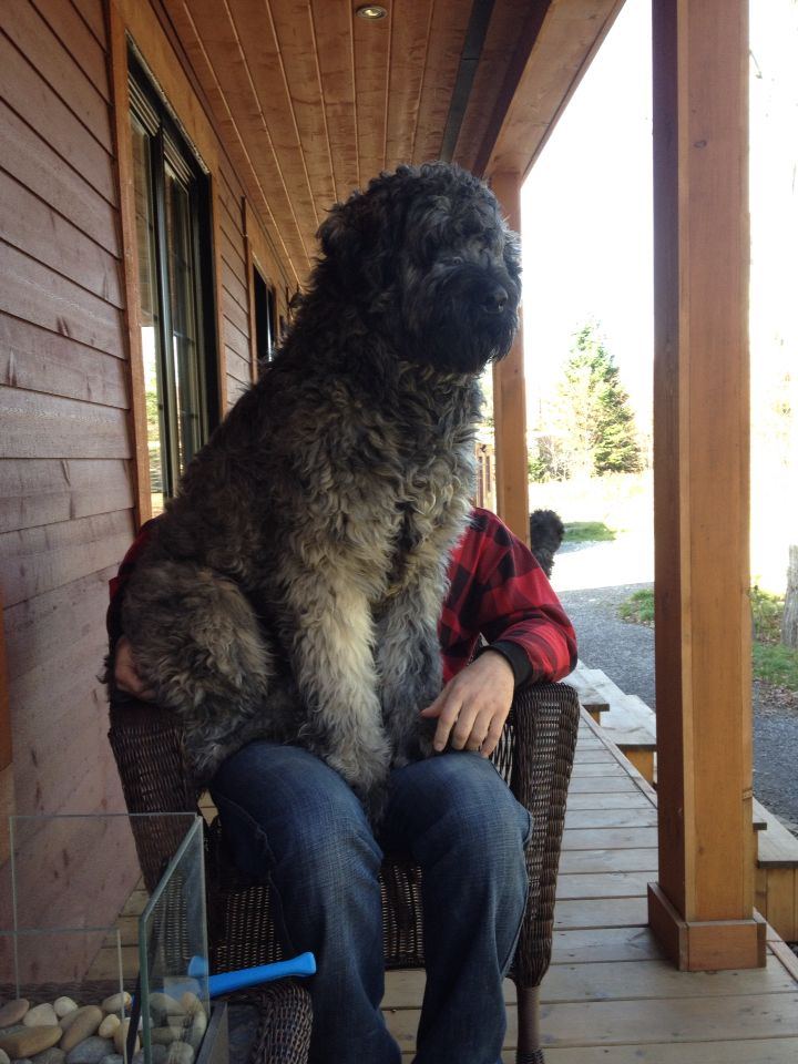 Kimo my Bouvier des Flandres 125lbs