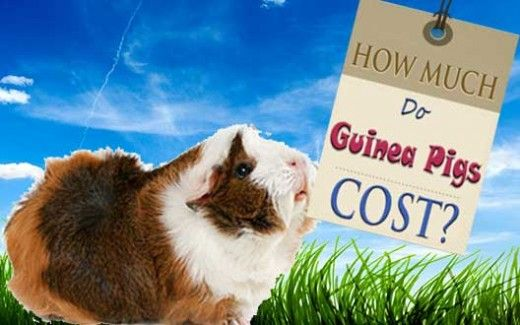 Before you get a guinea pig as a pet, you probably ought to know how much guinea pigs cost. We examine the start-up costs of obtaining a guinea pig, as well as the recurring monthly upkeep costs.