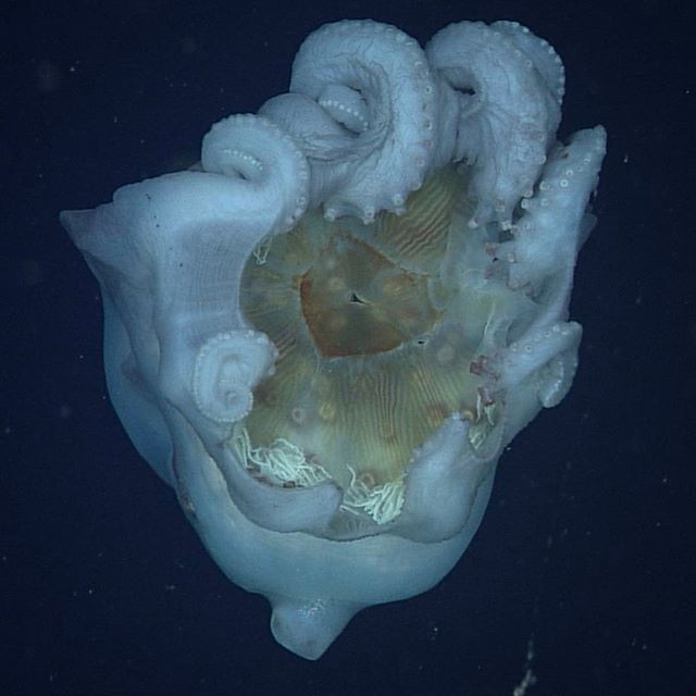 The perfect shot! The giant deep-sea octopus, Haliphron atlanticus, is holding an egg-yolk jellyfish, Phacellophora camtschatica in its arms. In the center of the bell of the jellyfish, the octopus' beak is visible as the dark triangular shape. In the open ocean gelatinous zooplankton are abundant and for a slow-moving, large predator like Haliphron consuming what is readily available and easy to catch makes sense. MBARI scientist Steve Haddock feels the general sentiment surrounding…