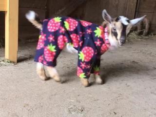 Pijama Defilesine Katılan Sevimli Keçi Yavruları - Videonuyukle.com