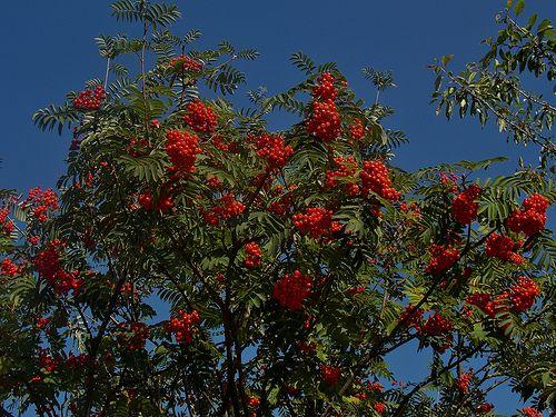 Sorbus aucuparia Rossica Major - Wilde Lijsterbes http://pratec.nl/product-categorie/bomen/?orderby=price&filtering=1&filter_latijnse-naam=287 De bessen zijn zeer geliefd bij vogels, de lijsterbes is een snelgroeiende, kleine slanke boom met sterk opstijgende takken.