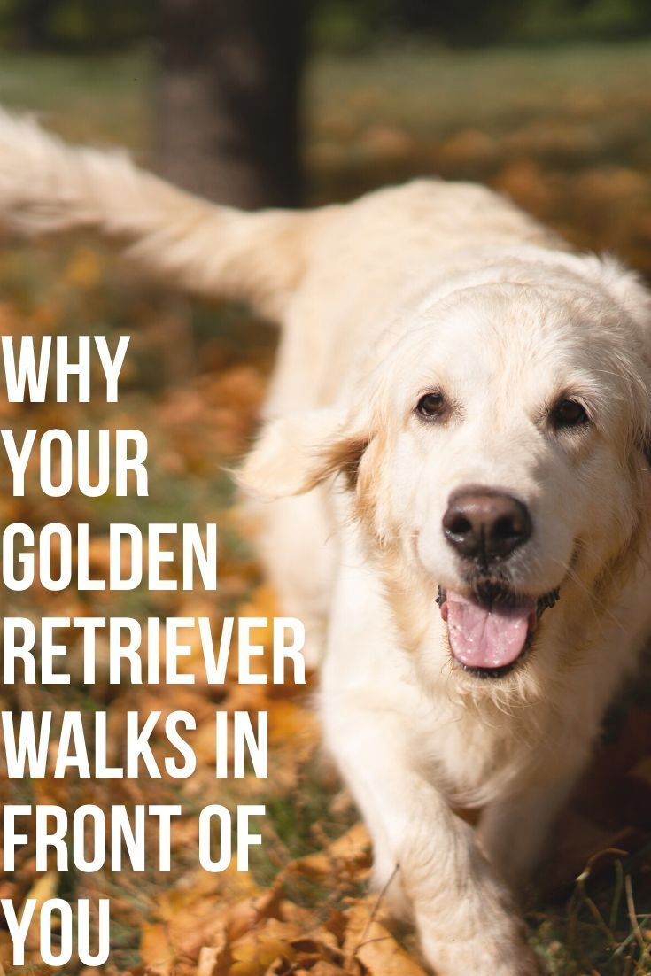 Why Does My Golden Retriever Walk In Front Of Me Dogs Golden