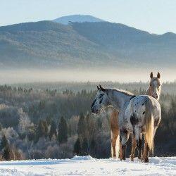 Appaloosa gelding palomino mare mountains winter snow | Edyta Trojanska-Koch