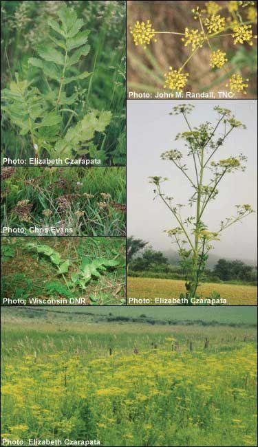Invasive - Wild parsnip