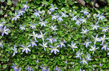 Stepables - Little Star Creeper... in between rocks, etc for the paths between the raised beds
