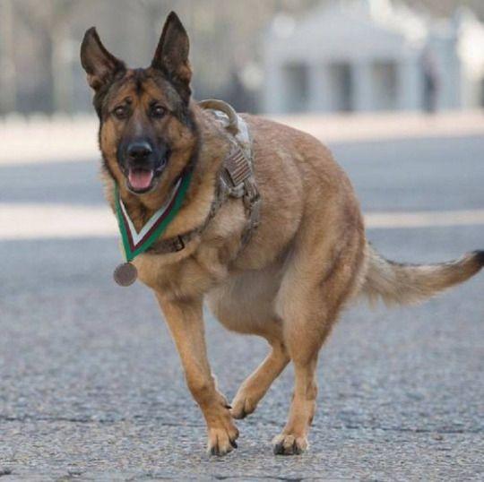 Dog who lost leg in Afghanistan....furry hero.
