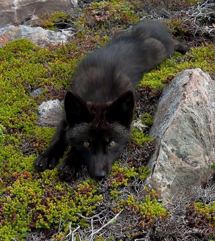 "Black fox: ""Do You Love Me ??"" by Judylynn Malloch"