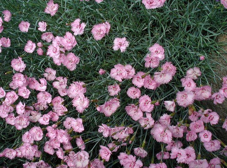 Dianthus-plumarius - Goździk postrzępiony – Wikipedia, wolna encyklopedia