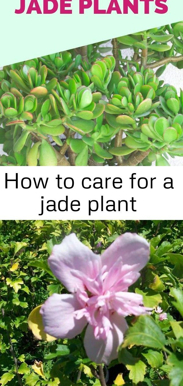 Jade Plants Are One Of The Most Low Maintenance Succulents And