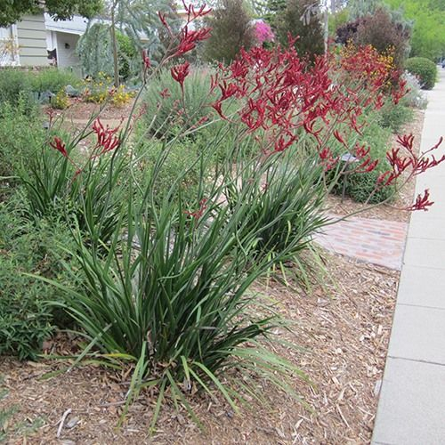 Red Kangaroo Paw (Anigozanthos 'Bush Devil')