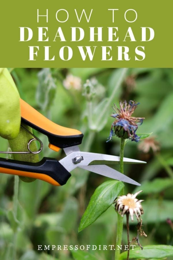 How To Deadhead Flowers For More Blooms Empress Of Dirt Deadheading Flowers Gardening Tips Perennials