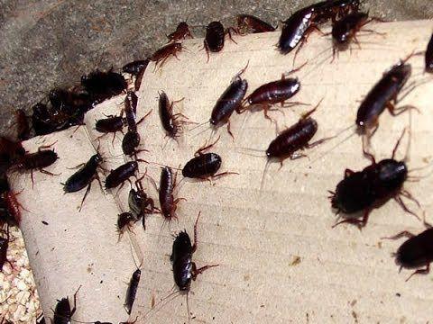 25+ best Killing Roaches ideas on Pinterest | Roach killer, Roach ...