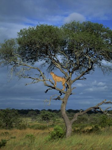 Cheetah in a Tree, Kruger National Park, South Africa, Africa