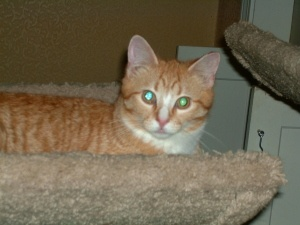 Orange male  is an adoptable Extra-Toes Cat  Hemingway Polydactyl  Cat    Orange Polydactyl Cat