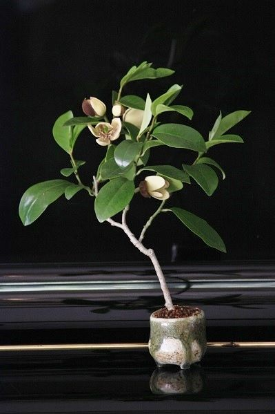 107 besten bonsai bilder auf pinterest bonsai blumen. Black Bedroom Furniture Sets. Home Design Ideas