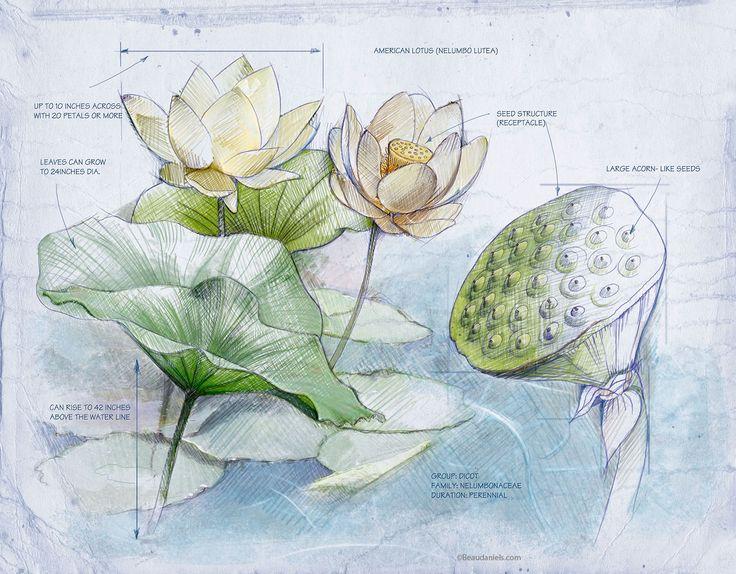 American Lotus,Nelumbo lutea.