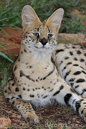 serval-wild-cat-14155757.jpg (300×450)
