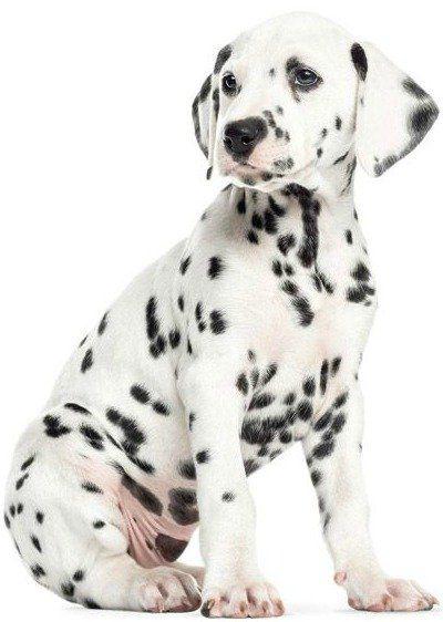 KEK Amsterdam Muursticker XL Dalmatier puppy 84x117cm