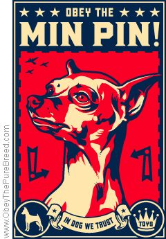 Obey the Min Pin. They are super smart and stubborn, so they need to be put in their place. One they understand they are not alpha, they are the best little dogs.