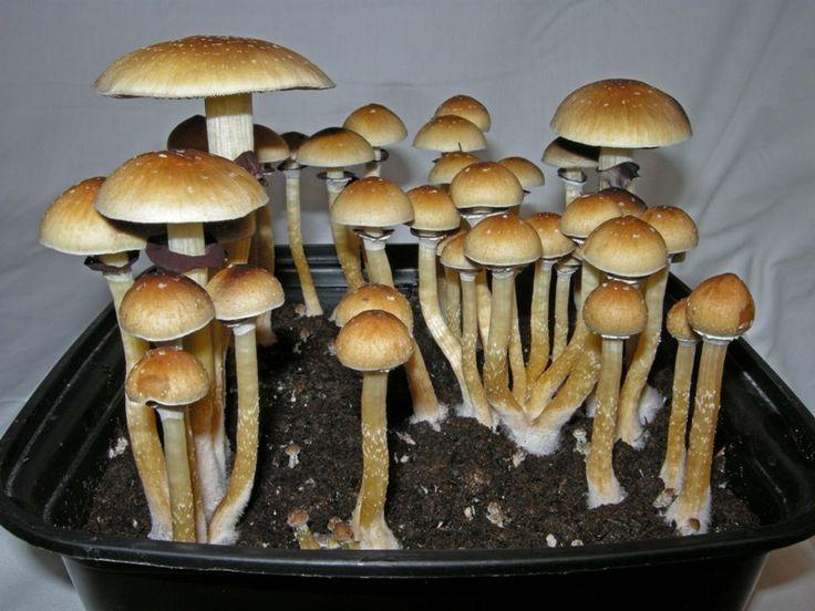 Des champignons avec des propriétés étranges… presque magiques!