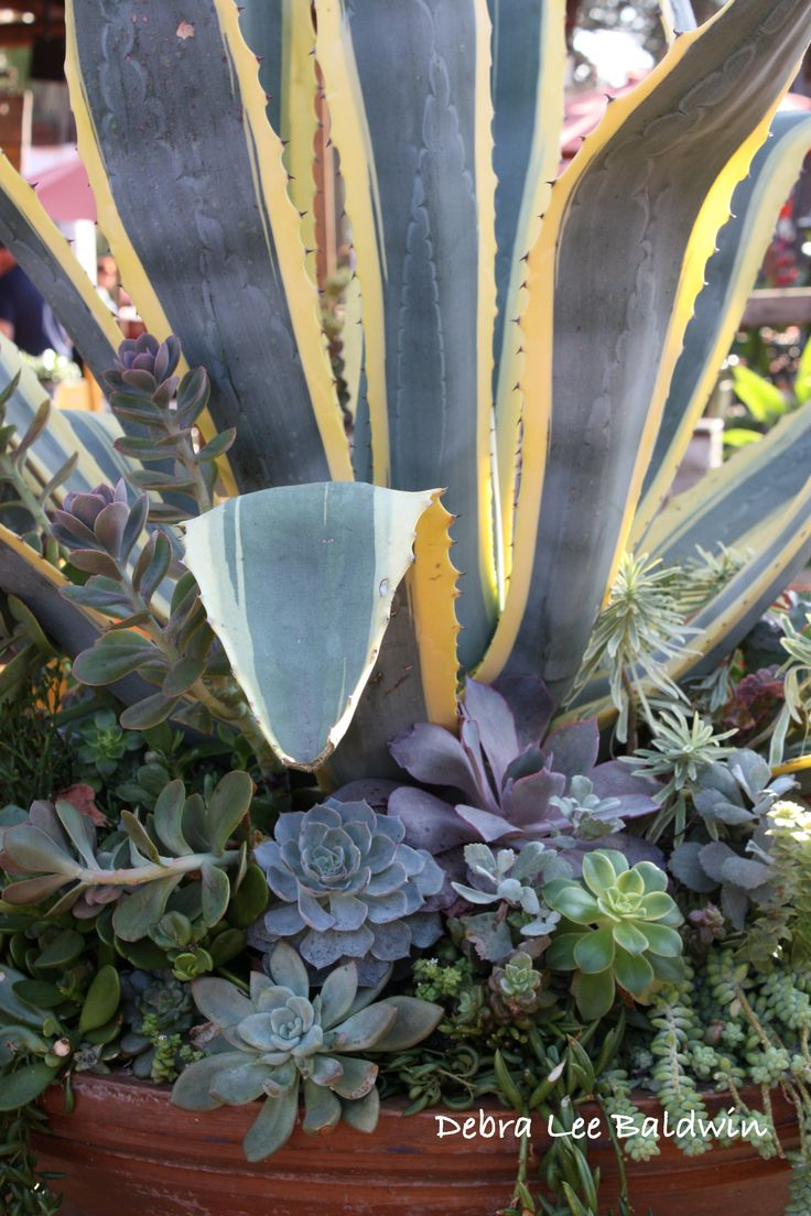 Agave americana 'Marginata' makes a great upright element in a floral-style  succulent composition