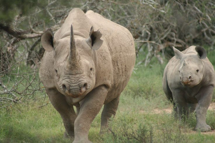 Black Rhinoceros | Black Rhino picture 1