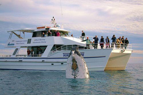 whales - hervey bay tasman.jpg (500×333)
