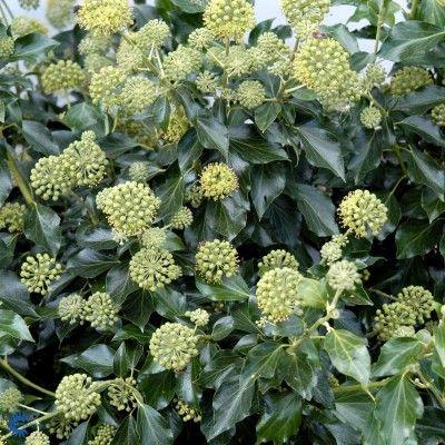 Buskvedbend (Hedera helix 'Arborescens')