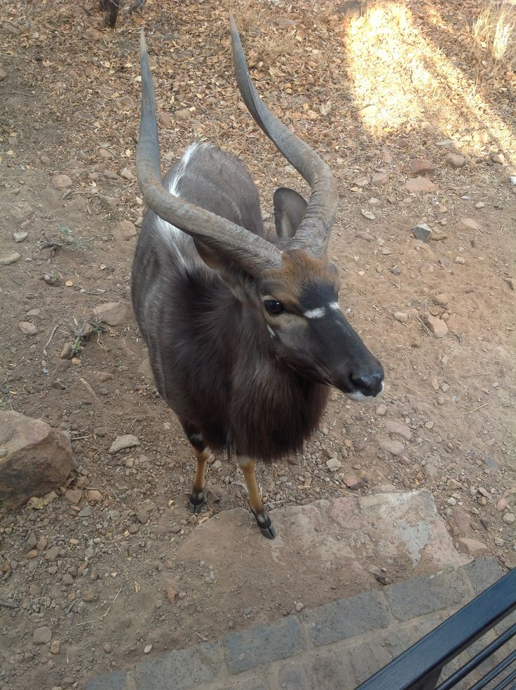 Nyala bull at the Mabalingwe lodge came to visit.