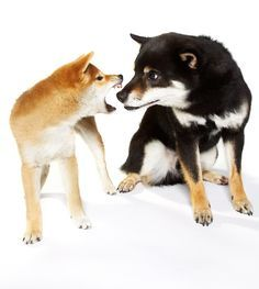 This puppy first aid article explains how to treat bite wounds. Learn how to give pet first aid for animal bites in this article about caring for puppies.