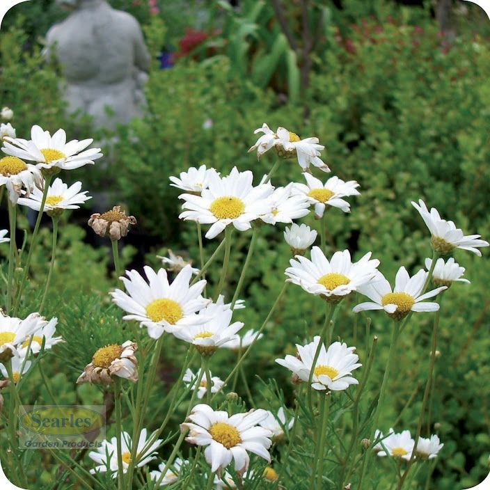 Daises are a low maintenance plant for the garden they for Low maintenance flowers outdoor