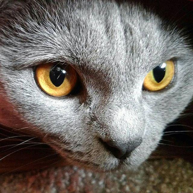 目力がすごい(✧ω✧) 綺麗な瞳だっ❤ ↑ 親バカです😝  旦那撮影📷✨ 撮る人が違うといつもと違って見える😼 気がする💦😜 #土あっぷ祭 #シャルweek#シャルトリュー#chartreux#cat#catsofinstagram #instacat#chartreux_feature #neko#nekostagram #graycat #bluecat #ねこ#猫#ねこ部#ねこら部#グレー猫#グレ猫倶楽部#愛猫#美猫#ふわもこ部  #にゃんすたぐらむ#にゃんだふるらいふ#ネコスタグラム #みんねこ#猫との暮らし #catslife#にゃんこ部 #ウェブキャットショー2  #ウェブキャットショー
