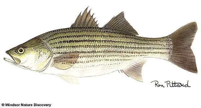 Google Images Clip Art free of fish | Striped Bass Picture