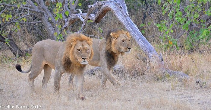 A strong coalition of lion brothers in the Linyanti, reinforced with head-rubbing behaviour #Botswana #safari