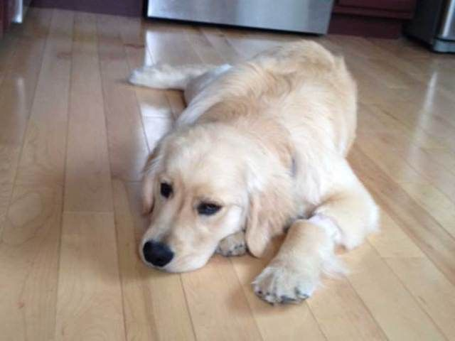 Golden Retriever Poisoned at the Park